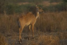 """Often referred as the """"blue bull,"""" nilgai is the biggest of all Asian Antelopes and is one of the most seen wild animals in India. It's only 2 species in the family Boselaphini and one of the 3 tribes in the subfamily Bovinae.  Nilgai is known to be native in northeastern Pakistan, lowland parts of Southern Nepal, and the peninsular India. Adult males also refereed as blue bulls grow to around 180 to 200 cm long, and weighs between 120 to 240 kg.  Male nilgai has a bluish-gray coat, narrow…"""