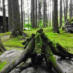 【yu_fujiwara56】さんのInstagramをピンしています。 《『苔の森の癒しの緑 Healing green of moss forest』 #森 #woods #林 #forest #木 #wood #苔 #moss #癒し #healing #調和 #harmony #リフレッシュ # refresh #日本 #japan #愛媛 #緑 #グリーン #green #モノクロ #monochrome #モノトーン #monotone #白黒 #blackandwhite #フォーカス #focus #視点 #pointofview》
