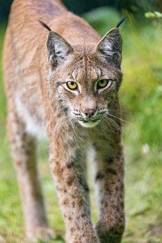 Lynx walking towards me | Flickr - Photo Sharing!
