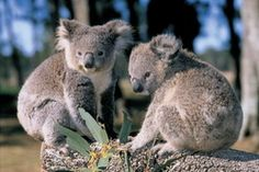 Wouldn't it be neat to have a koala as a pet?