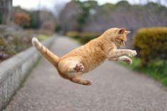 No pulo do gato. Dancing Animals, Dancing Cat, Jumping Cat, Orange Tabby Cats, Cat Love, Kangaroo, Funny Cats, Cute Animals, Dogs