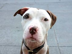 TO BE DESTROYED 10/12/14 -Brooklyn Center -P  LISA - A1015313   FEMALE, BROWN / WHITE, AM PIT BULL TER MIX, 2 yrs STRAY - STRAY WAIT, NO HOLD Reason STRAY  Intake condition EXAM REQ Intake Date 09/25/2014, From NY 11208, DueOut Date 09/28/2014,