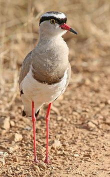 Crowned Lapwing contiguously from the Red Sea coast of Somalia to southern and southwestern Africa.