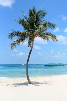 Bahama's (Palm Tree)