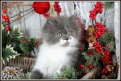 Blue & White Bi-Color Persian Kitten