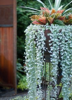 A successful container planting is one in which each element looks better combined with its companions than by itself, as with the spiky Astelia chathamica grounded by the pleated leaves of angel wing begonias. A stand crafted from scrap metal holds the composition high enough so that Dichondra 'Silver Falls' can put on a Rapunzel-like show.