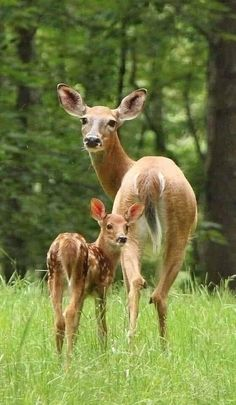 Pearl Deer Photos, Deer Pictures, Animal Pictures, Funny Animal Photos, Forest Animals, Nature Animals, Animals And Pets, Beautiful Creatures, Animals Beautiful