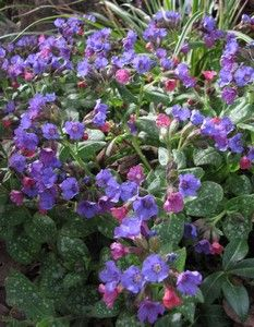 le-jardin-de-berthille.pulmonaria-bleue-15-avr-13.jpg