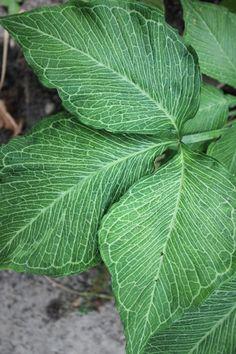 Arisaema triphyllum 'Starburst'