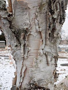 Paper Birch bark