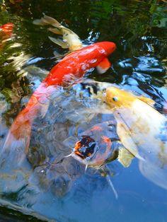 koi in the Japanese style water garden at Marie Selby Botanical Gardens in Sarasota FL Koi Art, Fish Art, Common Carp, Koi Painting, Asian Garden, Cool Photos, Interesting Photos, Beautiful Fish, Cute Little Animals