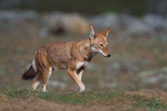 Ethopian wolf
