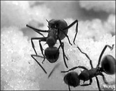 Black Ant Extract- Ginseng May be the King of Herbs, But Ant is the Herb of Kings. A Powerful Strength Builder, Aphrodisiac, Nutritious Supplement used in Chinese Herbalism for Centuries.