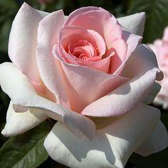 Rosa 'Meitroni'