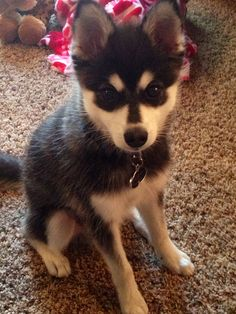 Alaskan Klee Kai puppy - Dexter at 4 months