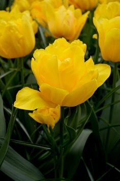 """Wholesale Tulip Flower Bulbs """"Monte Carlo"""", a wealth of blooms awaits you when you invest in this superb variety. Buy tulip flowers bulbs in bulk for Fall delivery and planting at DutchGrown.com. Wholesale pricing and superb bulb quality."""
