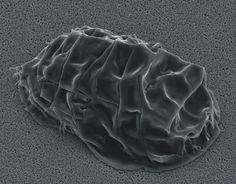 File:SEM image of Milnesium tardigradum in tun state - Fun Facts, Awesome Facts, Tardigrade, Bio Art, Just Amazing, Science Nature, The Incredibles, Discovery, Sustainability