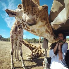 Giraffe Kisses in Mendocino California  Photography by @lizatags by thedreampics