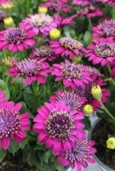 Osteospermum Flower Power Purple Explosion