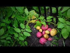 How to Plant, Grow, & Harvest Potatoes Organically from Start to Finish! - YouTube