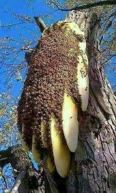 "angel-kiyoss: ""Beehive… "" #蜂の巣 #honeycomb でかぁ...ここまででかい蜂の巣は見たことがない。"