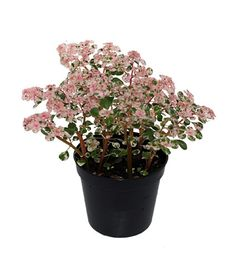 Pink pilea is the perfect plant for your terrarium or fairy garden. Colorful and whimsical!
