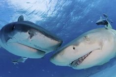 sharks do not get cuter than that, lol, they be buds posin for the camera!