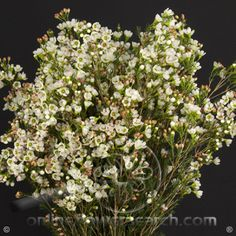 Waxflower Danmark