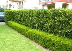 Viburnum odoratissimum hedge behind, buxus in front