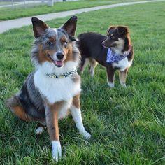 New bandanas from @delair.designs!  ---------------------- #miniaussie #miniaussiesofinstagram #miniaustralianshepherd #miniatureaustralianshepherd #puppies #puppystagram #puppiesxdogs #puppiesofinstagram #dogstagram #dogsofinstagram #dogsofinstaworld #dogsofig #mydogiscutest #cutepetclub #bluemerle #redtri #aussie #aussiefeaturing #aussiesofinstagram #australianshepherd #australianshepherdworld #topdogphoto #lacyandpaws #featureyouraussie #feature_aussiesofig by indyandeevee