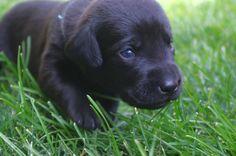 #blacklab #puppy #labpuppy