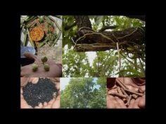 Medicinal Rice P5K Formulations for Careya Excess: Pankaj Oudhia's Medic...