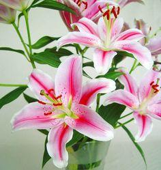 Flores de Lilium Oriental. - http://www.floresyplantas.net/el-lilium/