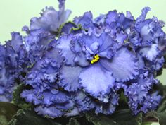 African Violet LE Moscow Sky - Breeder: Lebetskaya What a beautiful shade of blue!