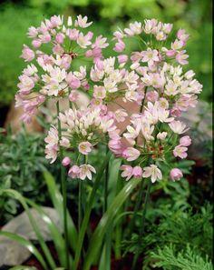 Rosy Garlic • Allium roseum • Plants & Flowers • 99Roots.com