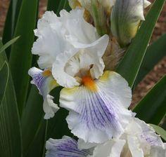 TB Iris germanica 'Serious Sighs' (Burseen, 2006)
