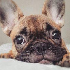 My Monday face  French Bulldog Puppy, @shantel_lizelle
