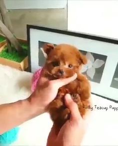 Toy Puppies, Cute Puppies, Cute Dogs, Cute Babies, Cute Puppy Gif, Animals And Pets, Baby Animals, Baby Pandas, Real Dog