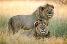 Cecil Is One of Hundreds of Lions Killed Recently in Zimbabwe