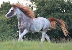 Windsong Firefrost (Haap Ibn Farrago x Rafaleh) 2004 chestnut extreme sabino Arabian stallion bred by Windsong Sabino Arabians, Colorado - Egyptian with lines to Alaa el din, Nazeer, Morafic Most Beautiful Animals, Beautiful Horses, Rare Horse Colors, Rare Horses, Rare Animals, Exotic Animals, Cutest Animals, Wild Animals, Majestic Horse
