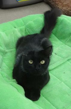 Meow! I came to the shelter on 08/01/13 and am available for adoption now. I am about 2 years and 1 month old.   To check on my status or if you want to come meet me, call (619) 691-5174 and please be sure to have my ID# handy!