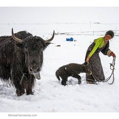 Did you know that yaks have grey tongues? Neither did I till I took this photograph in a Tibetan nomad camp.  #Tibet #tibetan #tibetanplateau #yak @natgeo @natgeocreative @thephotosociety by yamashitaphoto