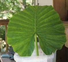 Hometalk :: Oak Hydrangea Leaf