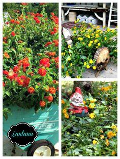 Lantana varieties ww