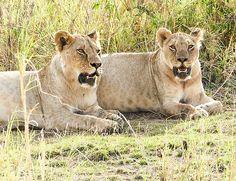 Lyden av løvebrøl, fantastisk vakker natur, store flokker av majestetiske elefanter, sultne krokodiller, som ligger på lur i elven og giraffer, som danser er bare noen av de opplevelser, som du kan være heldig å få.  Les mer ved å følge lenken øverst Tanzania, Kenya, Mombasa, Victoria Falls, Mauritius, Cheetah, Panther, Safari, Animals