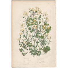 Anne Pratt antique 1860 botanical print, Pl 83 Mossy Saxifrage, Flowering Plants