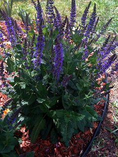 'Henry Duelberg' Salvia. Texas native plant. Not preferred by deer. Low maintenance, heat tolerant, native perennial with masses of showy blue flowers Full sun 3x3 Spikes of showy blue flowers from spring until frost.