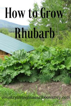 How to Grow Rhubarb Plant it once in a Northern Garden and it will come back every year. Rhubarb is great for jams or fruit crisps and healthy too! The post How to Grow Rhubarb appeared first on Garden Diy. Home Vegetable Garden, Fruit Garden, Edible Garden, Veggie Gardens, Garden Plants, Organic Vegetables, Growing Vegetables, Growing Tomatoes, Growing Rhubarb
