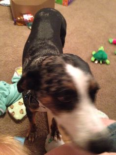 Catahoula 1 yr old in Mommyof1's Garage Sale in Wylie , TX for $85. 1 yr old catahoa puppy need gone by 19th will come with food and water bowl leash and collar she has had shots and flea and tick bath very nice puppy just don't have time for her with a job and 9 month old baby. Needs a yard to run she loves to be outside