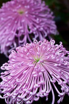 Garden Flowers - Annuals Or Perennials Mums The Word, Spider Chrysanthemums Teresab, Redbubble Flora Flowers, All Flowers, Exotic Flowers, Amazing Flowers, My Flower, Purple Flowers, Flower Power, Beautiful Flowers, Winter Flowers